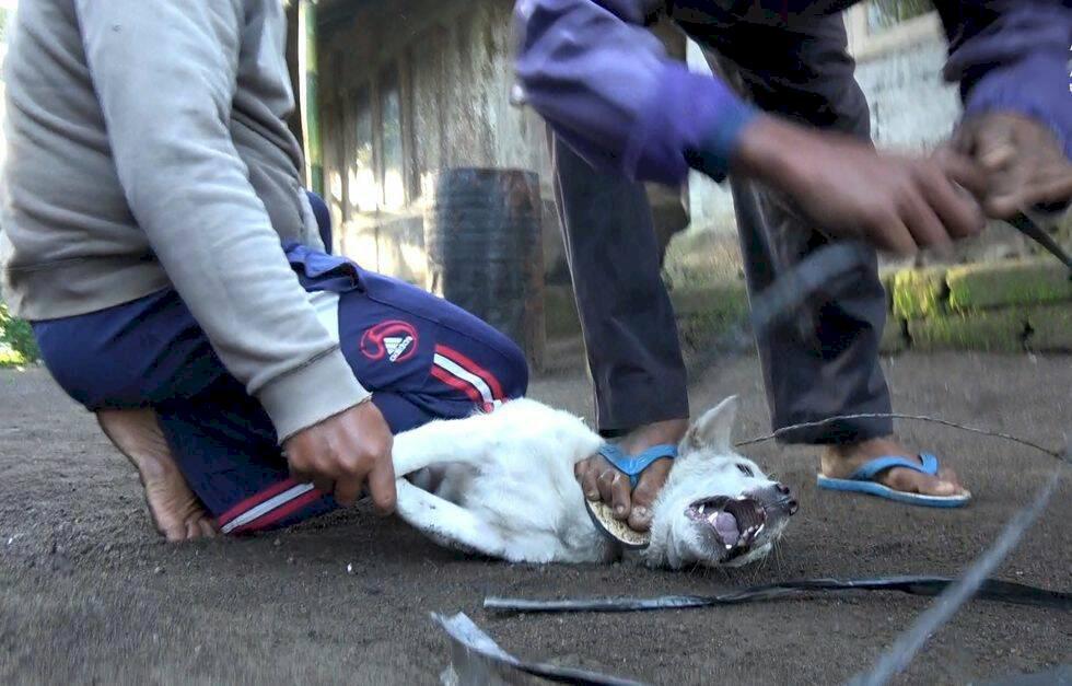 Turister luras att äta hundkött på Bali