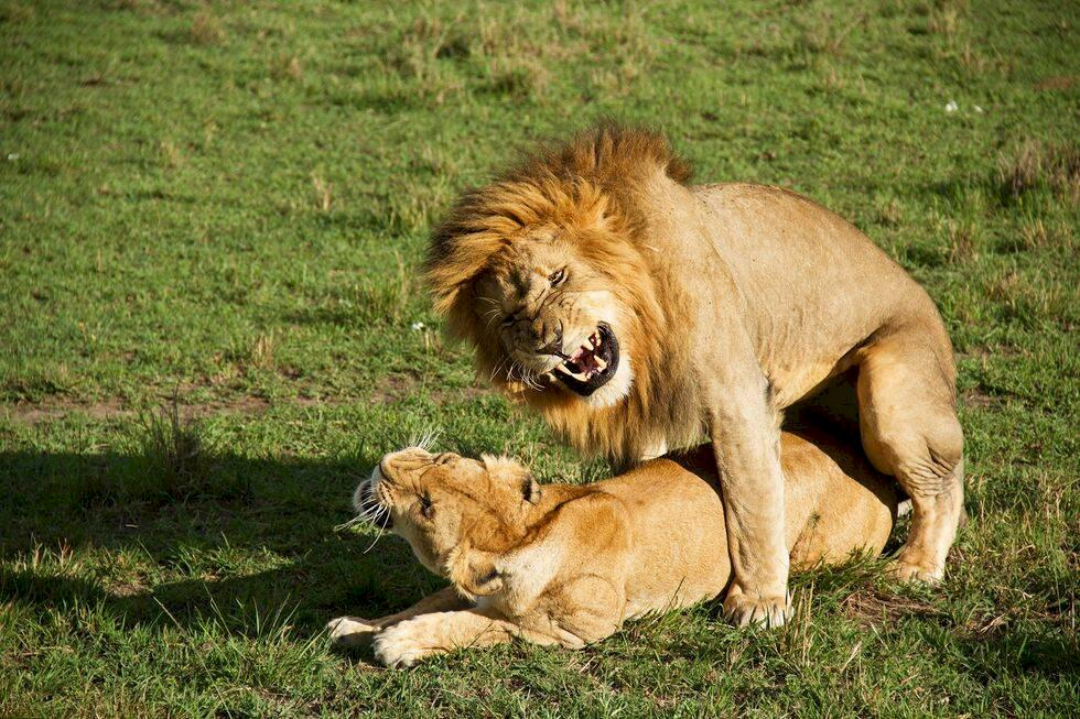 Kenya – besök hos lejonen i Masai Mara