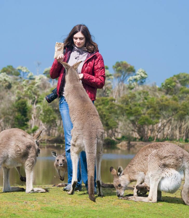 Sockerhöga kängurur attackerar turister i Australien