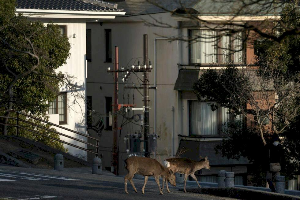 Djuren intar städerna under coronakrisen