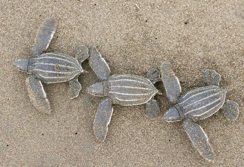 Nu återvänder sköldpaddorna till Phukets stränder