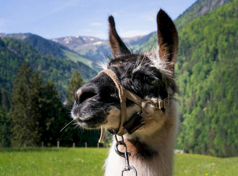 Redaktionens favorit: Vandra med lama i Tyrolen