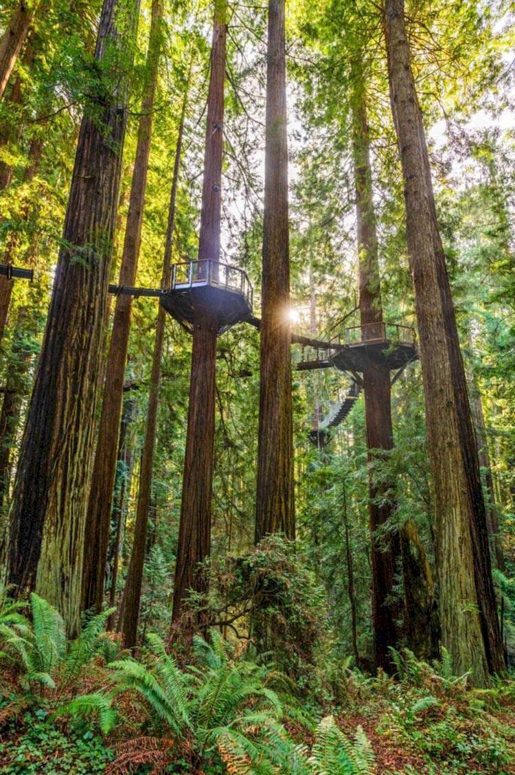 Ny promenadväg – 30 meter upp i luften bland redwood-träden