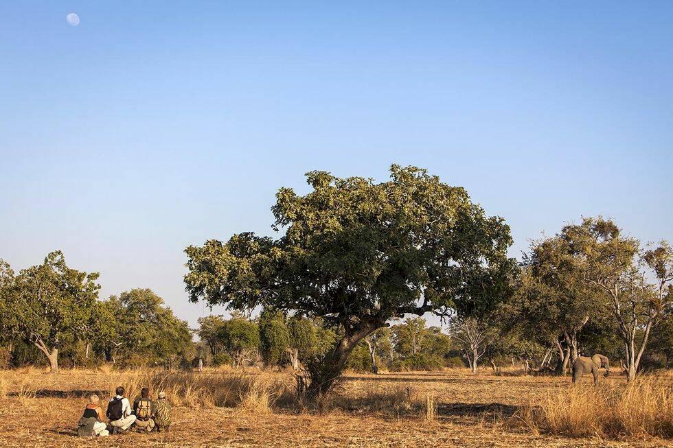 Zambia: På vandring bland vilda lejon