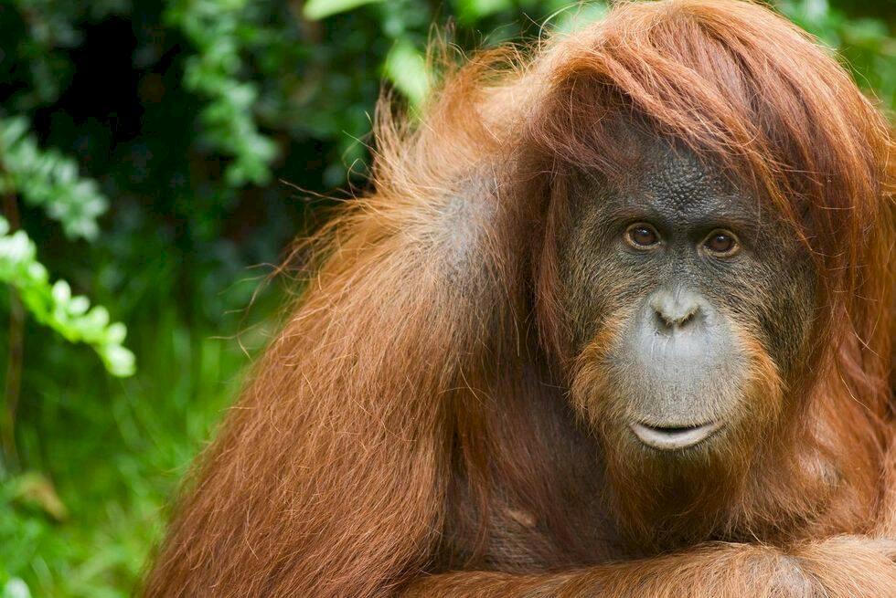 Glada beskedet: Jättepandan inte längre utrotningshotad