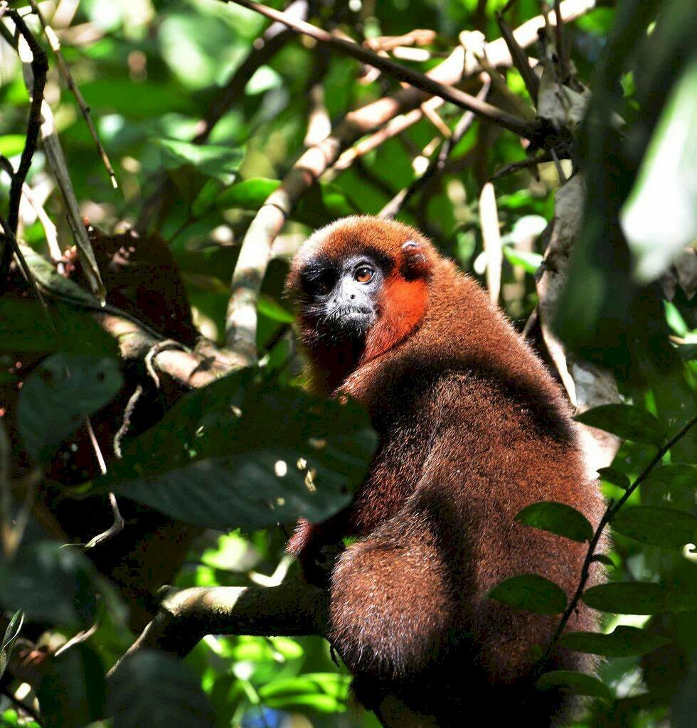 Bland jaguarer och aror i Amazonas hjärta